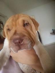 Título do anúncio: Vendo ou troco cachorro sharpei 2 mes