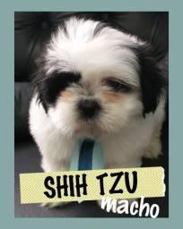 Shih tzu venha conhecer pessoalmente