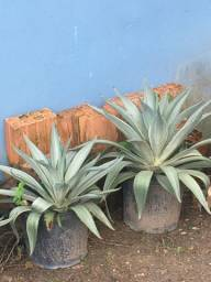 Planta Agavea