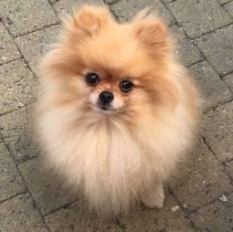 lulu Da Pomerania Quero seu carinho
