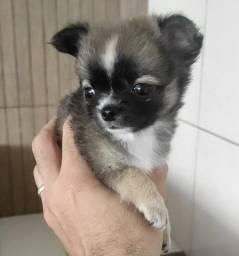 Título do anúncio: Chihuahua Macho