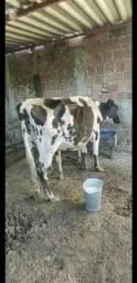 Título do anúncio: Vaca Girolanda parida dando leite
