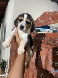 Beagle lindíssima com pedigree cbkc já em mãos