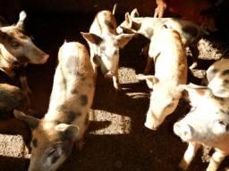 Porco - Leitões (leitão) Pietran - castrados