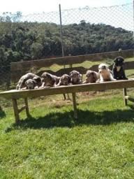 Filhotes de Dogue Alemão /Porto Seguro-BA/