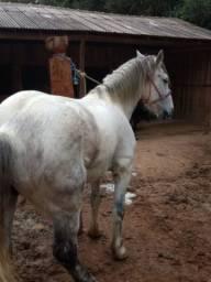 Cavalo Percheron Pra Toda Lida - Aceito Cartão