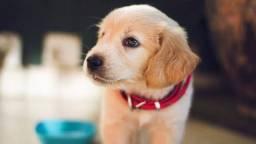 Como adestra seu cachorro em casa