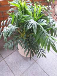 Linda palmeira  natural
