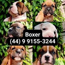 Breve filhotes - Boxer