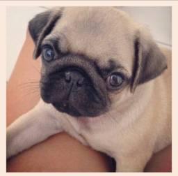 Pug com pedigree Femea! 10x sem juros