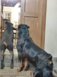 Filhotes de Rottweiler cabeça de touro - pai e mãe no local