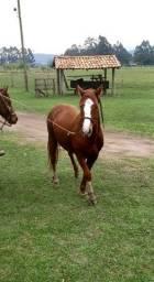 Cavalo (Potro) Xucro.