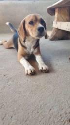 Beagle macho disponível pra cobertura