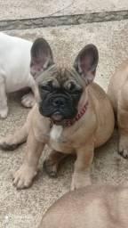 Título do anúncio: Filhote fêmea Bulldog francês espetacular