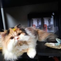 Título do anúncio: Persa Fêmea Tricolor
