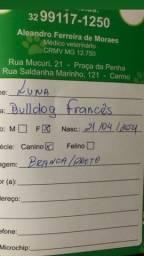 Título do anúncio: Vendo Buldogue francês fêmea 6 meses