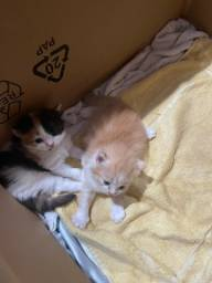 Título do anúncio: Vendo lindos filhotes de gato himalaios