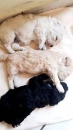 Filhotes Poodle macho