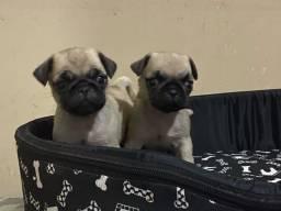 Pugs macho e fêmea