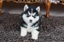 Husky Siberiano filhotes disponíveis com garantias de saúde e de vida