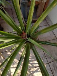 Título do anúncio: Torrando! Um lindo vaso de abacaxi produzindo por uma pechinha