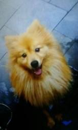 Lulu da Pomerânia legítimo (raposinha) R$ 4.500,00)