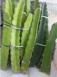 Lote de Pitaya de polpa vermelha 100 mudas