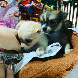 Chihuahua micro cão, e considerado o menor cachorro do mundo!