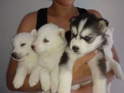 Husky Albino , 3 femias , 1 macho disponível