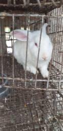 Um coelho