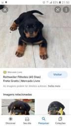 Título do anúncio: Cachorro rottweiler filhote