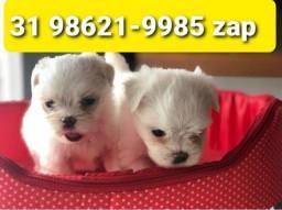 Título do anúncio: Cães Filhotes Pet BH Maltês Shihtzu Beagle Lhasa Poodle Yorkshire