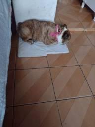 Título do anúncio: Bloodhound femea