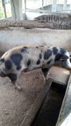Título do anúncio: Porco Barrao