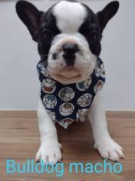 Bulldog com garantia  e procedencia