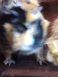 3 porquinhas da india de raça