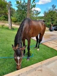 Cavalo egua