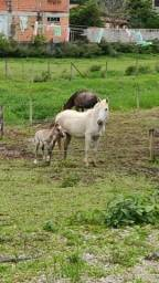 Título do anúncio: Vendo egua e potra crioulas. Sem documento