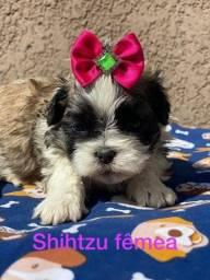 Bebes de Shih tzu