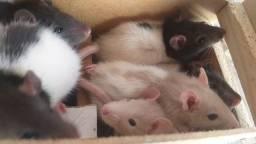 Filhotes de rato Twister Mercol