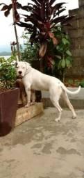 Mastiff Argentino (Dogo)