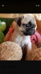 Vendo filhote de Pug