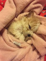 Filhote poodle microtoy abricó