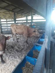 Vacas  prenhas