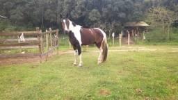 Vendo Cavalo Homozigoto