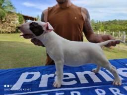 Bull Terrier * WatsApp