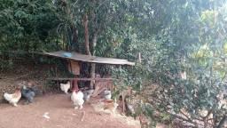 Vendo 10 galinha  Brahmas