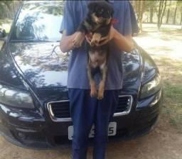 Canil Euro filhotes de Rottweiler/ cabeçudos e fortes