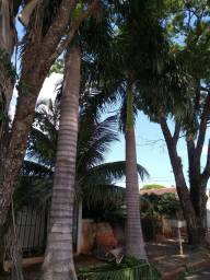 Título do anúncio: Palmeira adultas