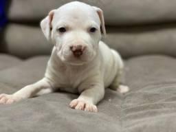 Pitbull adquira com acompanhamento veterinario gratuito 11.910911.758